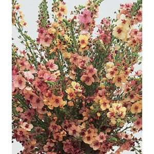 , Southern Charm Hybrid 1 Pkt. (25 seeds): Patio, Lawn & Garden
