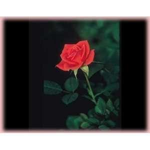 Salmon Sunblaze (Rosa Miniature)   Bare Root Rose: Patio