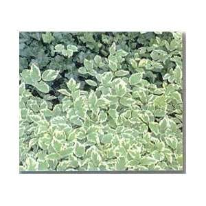 BISHOPS WEED / 1 gallon Potted Patio, Lawn & Garden